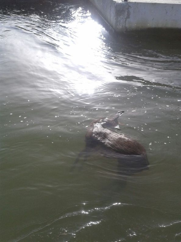 Corzo flotando