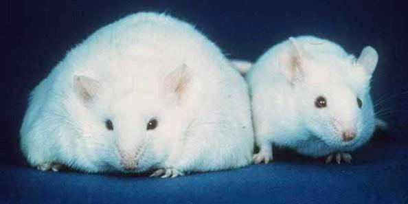Disruptores-endocrinos-y-obesidad-ratones